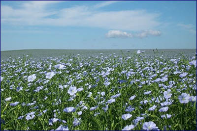 A field of flax flowers