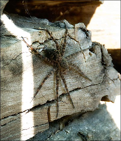 Enormous Wolf Spider