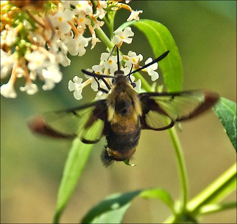 Clearwing moth on butterfly bush
