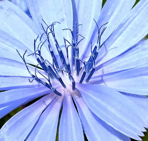 Chicory blooms blue on the backroads