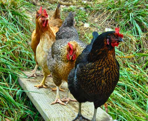 Poultry Pageant: on the Boardwalk