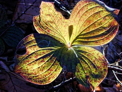 Bunchberry, Walden Pond, October 2004