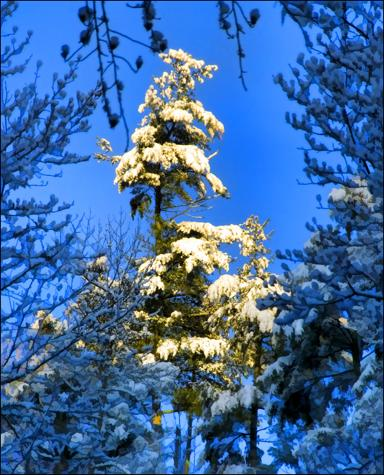 Morning sun finds snow in the tops of the tallest pines