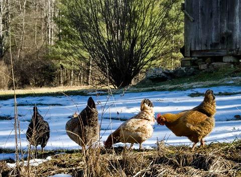 The Free Rangerettes of Goose Creek