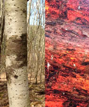 Accidental discovery: the hidden inner color of Mt Ash