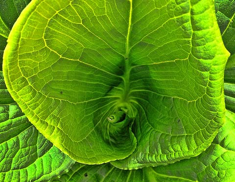 Skunk Cabbage. Not good with taters and onions.