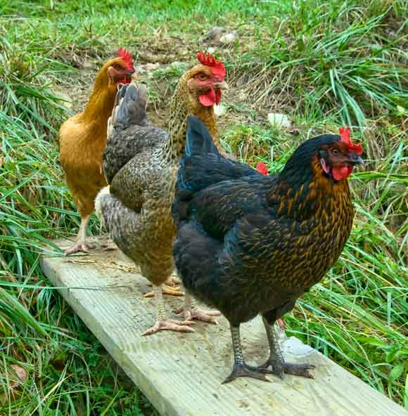 Chickens, at their best, can be a joy. OTOH...