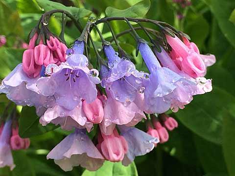 2015-04-17-122912-bluebells