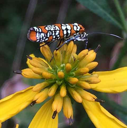 An ermine moth known as Ailanthus Webworm